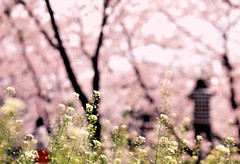 Supporting roles (y2-hiro) Tags: flowers plants cherry landscape spring nikon blossoms d300