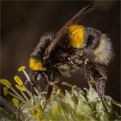 Bumble Bee Macro (GH_DSLR) Tags: pccontests wildlife bees macro