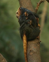 090605_4624 gldn tmrn t (Photos by Kathy) Tags: baby animals monkeys primate cincinnatizoo tamarins babyprimate cincinnitizoo goldenmaned babygoldenmanedtamarin