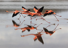 Floreana flamingos (Abizeleth) Tags: pink lake reflection water birds flying interestingness ecuador grandmother action flamingo flamingos lagoon galapagos floreana panning takingoff takeoff phoenicopterusruber rockon shc bigmomma puntacormorant expored mywinners yourockunanimous pfohalloffame herowinner ultraherowinner thepinnaclehof ultrawinner motmjul09 shchalloffame kanchenjungachallengewinner thepinnacleblog tphofweek120