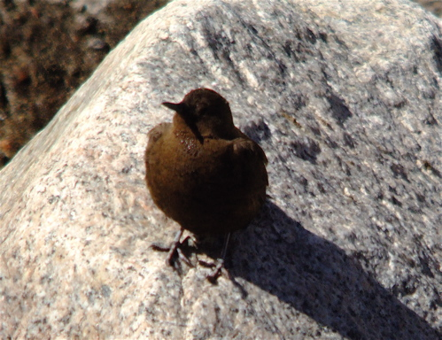 brown dipper