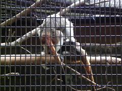 Dickerson Park Zoo - Springfield, MO (Adventurer Dustin Holmes) Tags: animal animals zoo monkey exhibit primate exhibits monkies zoos tamarin cottontoptamarin tamarins dickersonparkzoo cottontoppedtamarin saguinusoedipus cottontoppedtamarins