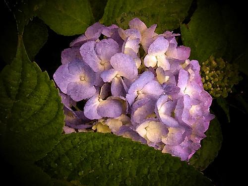 hydrangea watercolor