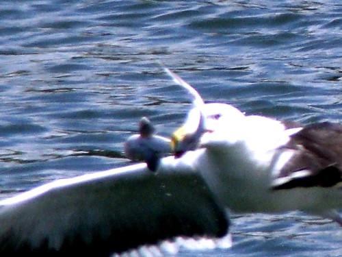 Seagull has a shark snack - Avalon, NJ - Imgur