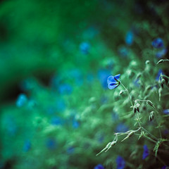 after all ([Adam Baker]) Tags: blue summer flower green canon bokeh arboretum 50mm14 explore 5d cornell portfolio frontpage swirly plantations adambaker hbw petob
