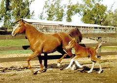 Flamoniatar AHR# 65765 and Rhose AHR# 223536 (valeehill) Tags: horse mare arabianhorse equine filly rhose chestnuthorse flamoniatar rhokeem