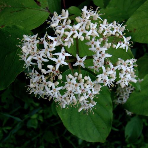white june newjersey bush native nj dogwood shrub fieldday cornus southriver cornaceae 4petals roundcluster wfgna cornusamomum silkydogwood