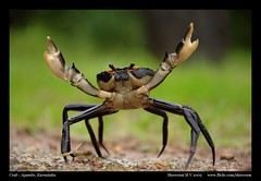 Crab (M V Shreeram) Tags: india nature fauna nikon rainforest wildlife crab nikkor dslr karnataka 70300mm vr invertebrate agumbe d90