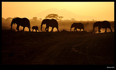 Going home (Giovanni Gori) Tags: africa trip travel sunset vacation holiday art kilimanjaro nature beautiful animals landscape geotagged nikon tramonto kenya dusk natura adventure safari explore elephants portfolio 1001nights fhm viaggio soe vacanza paesaggio ih nationalgeographic amboseli potofgold cinematiclighting wildness e