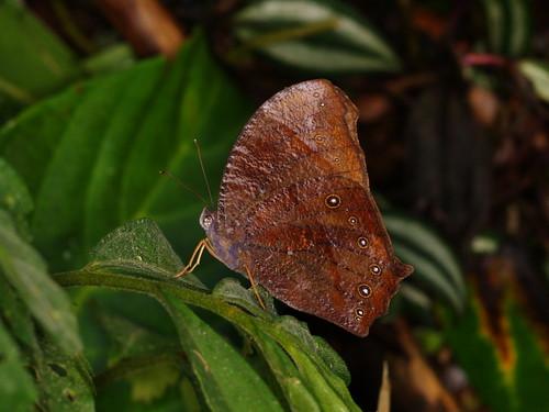 你拍攝的 黑樹蔭蝶。