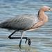 reddish egret von steve courson
