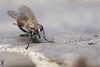 Exercice (Haentjens Raphaël - Macropixels) Tags: macro nature beautiful up closeup wow insect close belgium belgique magic best stunning excellent magical arthropods arthropoda insecte diptera raphaël macrophotography wallonie macrography insecta hexapoda pterygota eukaryotes bilateria ecdysozoa neoptera endopterygota macrophotographie stuning eukaryota diptère macrographie dipterous haentjens macropixels protostomia mandibulata bilaterians protostomes ecdysozoans panarthropoda dicondylia atelocerata panhexapoda panorpida