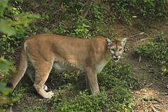 Frisky Cougar (Todd Ryburn) Tags: nature animal cat canon wildlife bigcat dslr cougar canonllens wildlifeprairiestatepark wpsp canon5dmarkii canon300mmf28isllens peoriailarea