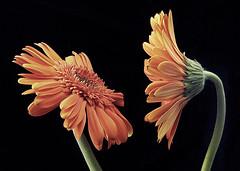 halitosis (juj ~) Tags: orange blackbackground pj