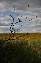 lonely tree and buzzard (Steveinkalamazoo) Tags: blue autumn summer sky west tree nature grass clouds hawk michigan center lone kalamazoo prairie
