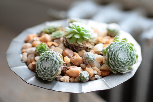 Sempervivum on Server