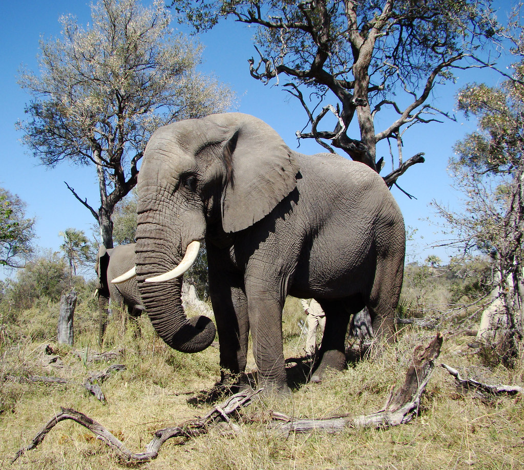 DSC08156 Elephant
