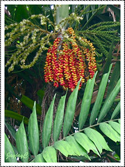 Ptychosperma macarthurii: branched clusters of flowers, ripened/unripened fruits and its pinnate leaf