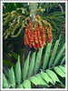 Ptychosperma macarthurii (Macarthur Palm, Macarthur Feather Palm, Cluster Palm, Hurricane Palm)