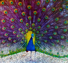 """""""This is heavy work"""" (Dozzam:)) Tags: blue color bird nature animal eyes vibrant feathers grand peacock physis"""
