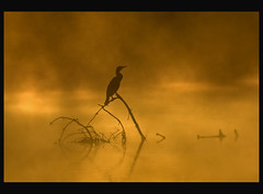 Aalschover (dewollewei) Tags: morning sunrise image getty cormorant gettyimages gettyimage carbo phalacrocorax topseven fineartphotos mywinners anawesomeshot artofimages superstarthebest bestcapturesaoi thebestofcengizsqueezeme2groups ~creativity~
