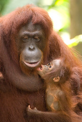 Orang-utan (Ian Haslam) Tags: hairy baby cute love animals hair fur zoo furry nikon singapore kiss kissing tan lips u orangutan nikkor 70300mm connection vr orang connecting d80