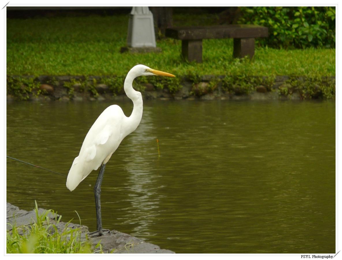 Intermediate Egret (Egretta intermedia) - 中白鷺