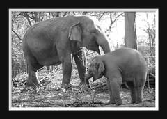 Elephant Love Serie 008 (Mandy van Tilborg) Tags: mandy elephant zoo blijdorp van olifant jong olifanten indische diergaarde aziatische olifantje olifantenjong tilborg
