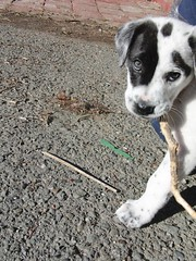 hopeCIMG4992 (marymactavish) Tags: california november dog cute fall yard puppy hope mutt sanlorenzo 2009 alamedacounty cowdog november23 november232009