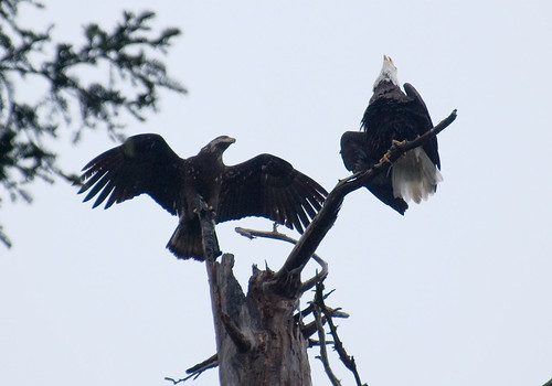 Bald Eagles 2