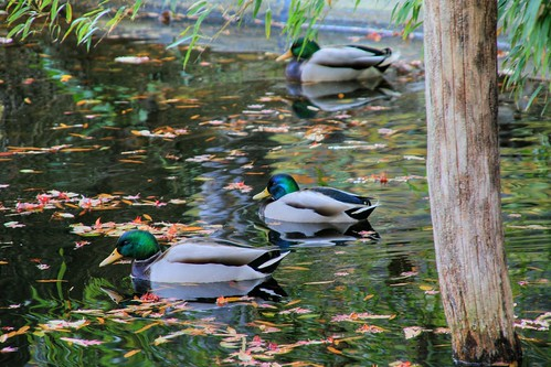 Mallards on a Pond