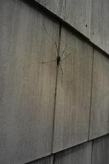 daddylonglegspider. (lil'one.) Tags: wood daddy spider scary long legs creepy