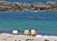 surfin' sheep (glenfinlas) Tags: beach island scotland sheep islay seashore hebrides sanaigmore