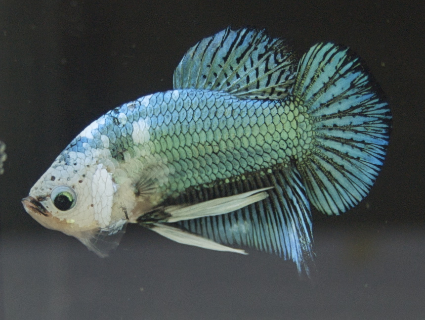 Phoenixs Halfmoon Plakat Betta - The Planted Tank Forum