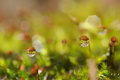 Water droplets (ComputerHotline) Tags: france macro green water moss eau drop vert franchecomté goutte fra mousse bryophyta sermamagny