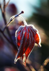 She Closed Herself Up, Like a Fan (Mahnie) Tags: winter frost bokeh hanging frostymorning beautifulmorning canon100mmmacrof28 foldedup canon450d coldsunlight frostcoveredredmapleleaf sharingthejoyofphotographywithskylar frostseries