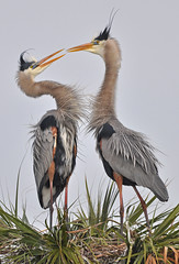 GBH courting (Slingher) Tags: heron nature birds wildlife breeding wetlands mating greatblueheron viera gbh fotocompetition|fotocompetitionbronze
