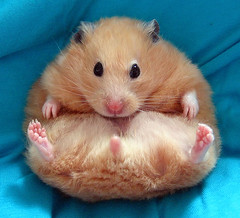 chmurka 1 (Hamster Lover 14) Tags: guinea pigs hamsters pyzas