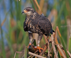 Everglades Snail Kite Female Eating Apple Snail, Devil's Garden, Hendry County, Florida (kevansunderland) Tags: kite birds garden devils raptor everglades soe applesnail endangeredspecies devilsgarden naturesfinest birdphotography floridabirds snailkite hendrycounty avianexcellence evergladeskite