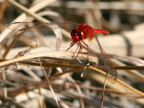 Scarlet Skimmer 20091231