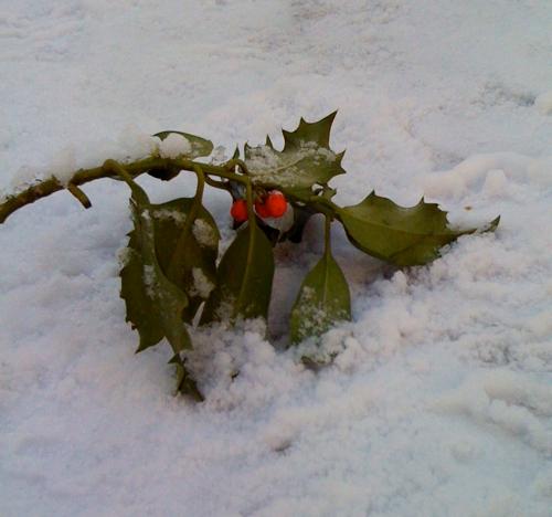 Snowy holly, December 2009