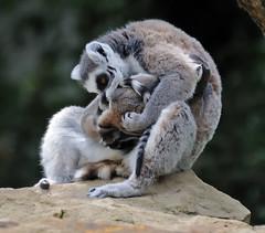 DSC_3425 (M.Demandt [Thanks for 240.000 views]) Tags: zoo nikon sp di 70300mm tamron vc mnster usd 456 70300 allwetter