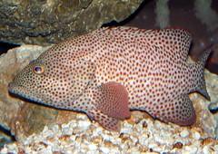 Grabsy grouper