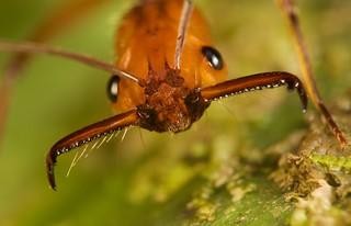 Trap jaw ant (Odontomachus sp-) (5)