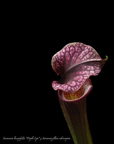 "Sarracenia lecuophylla ""Purple Lips"" x Sarracenia flava rubricorpora"