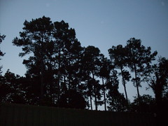 Dusk and pines