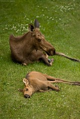 Moose Mother and Child