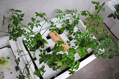 Hydroponics by m-louis, on Flickr