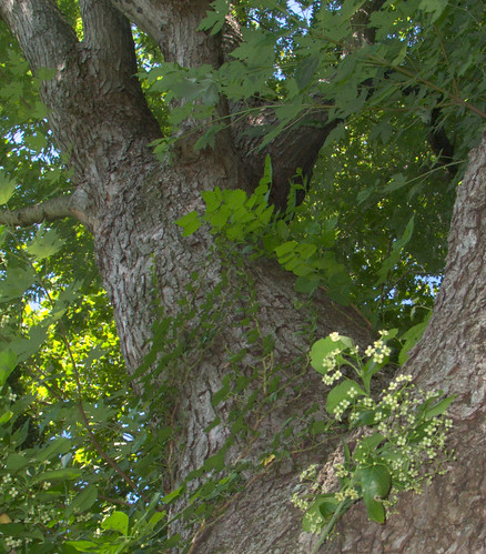 Silver Maple, July 18, 2009