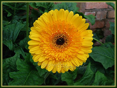 Gerbera jamesonii (Barberton/Transvaal/African Daisy) - yellow ray flowers with black central disk